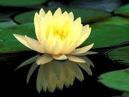 tranquil koi pond